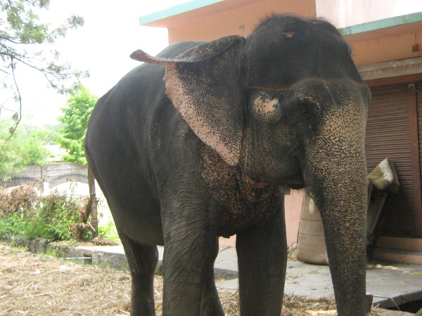Laxmi the Safari elephant
