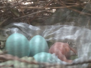 pale blue Mayna eggs with a new chick