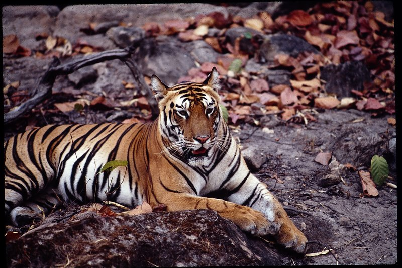save the tiger Tiger conservation, tigers, tiger, save the tiger, wild tigers, tigers in the forest, tiger facts, information on tigers, endangered tigers, tigers habitat, tiger.