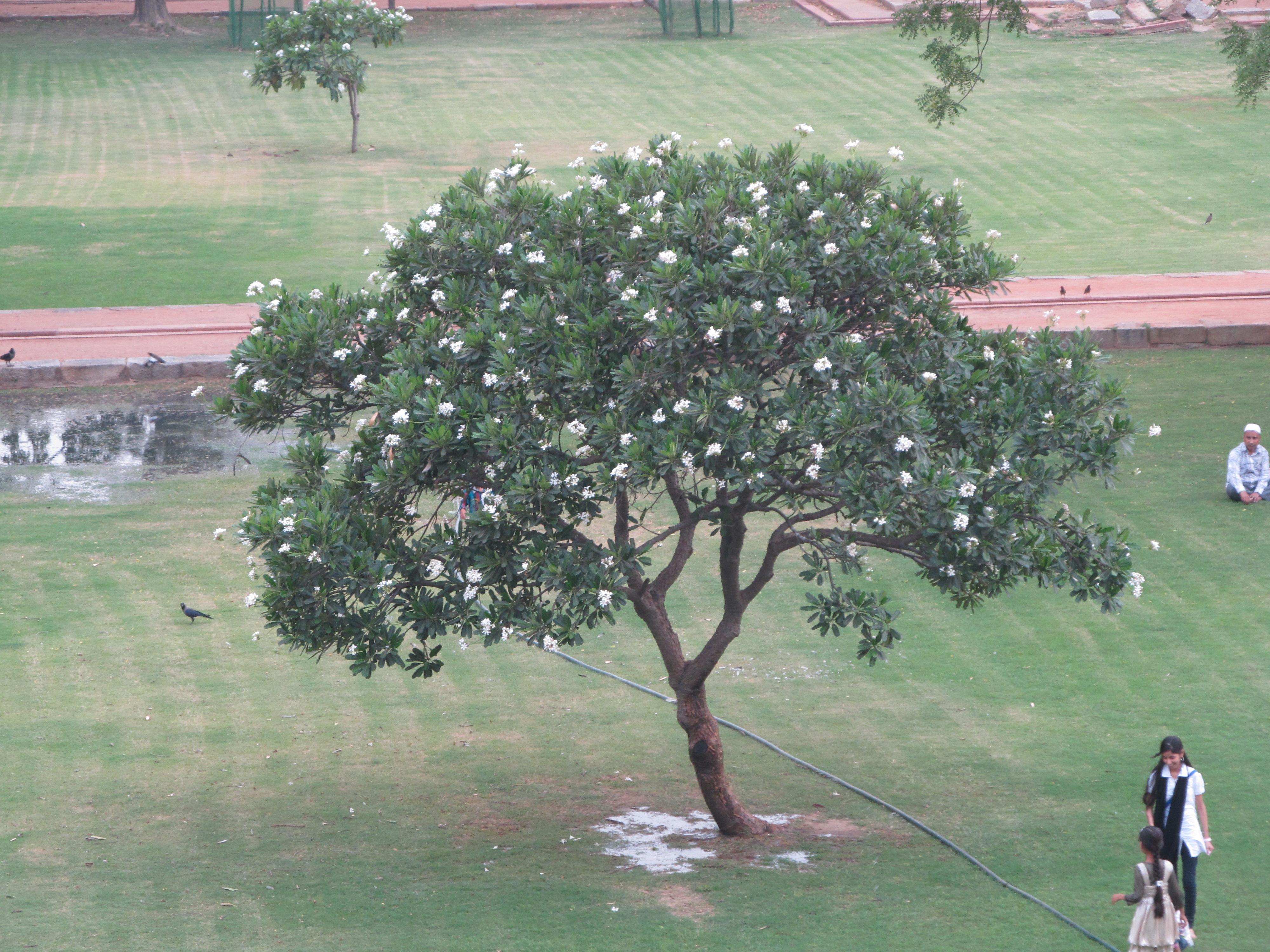 Uses of neem tree essays