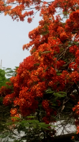 The revolutionary Gulmohar