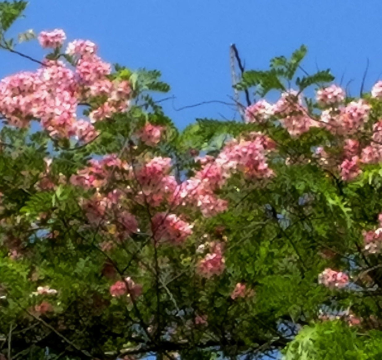 Pink Cassia haze on a hot summer noon